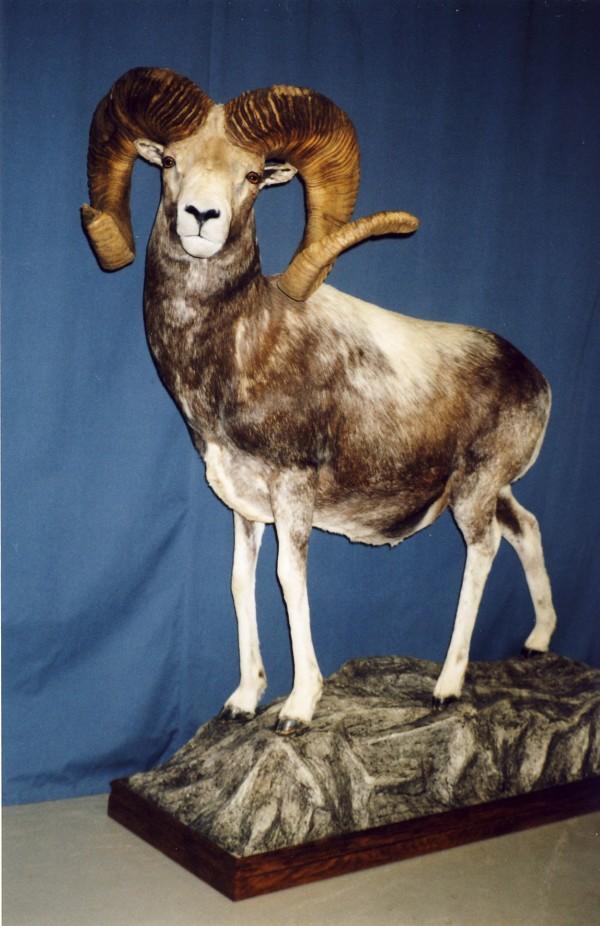 Ibex Goat Life-Size - Gander's T...